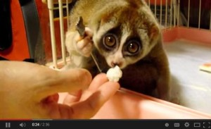 Cute video for caregivers - Kinako a slow loris eats a rice ball