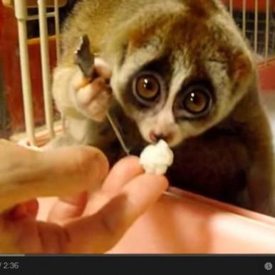 Cute video for caregivers - Kinako a slow loris eats a rice ball