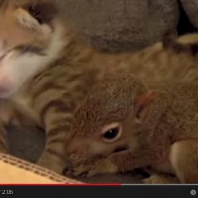 Cat adopts a squirrel