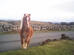 Dartmoor ponie Courtesy Norms McNamara