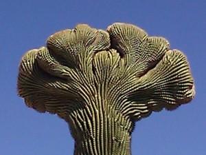 Arizona-Cactus-BRAIN_6_2013_Photo-by-Brenda-Avadian