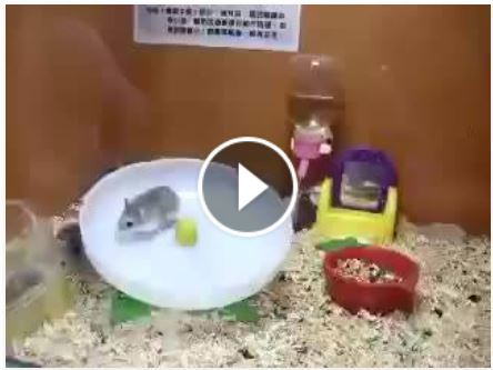Mamamia Two Hamsters in a wheel