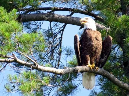 Bald Eagle in Nevis, MN  Debbie Center photo 2015