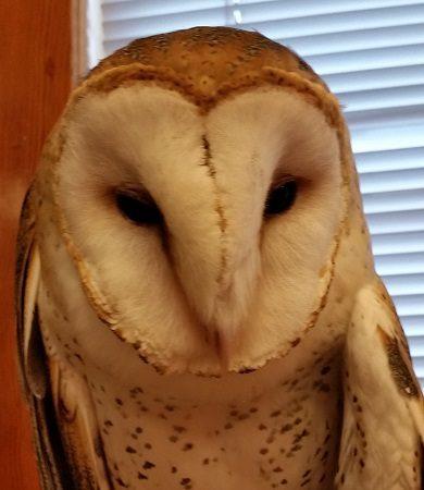 Ruth, the Barnyard Owl Devil's Punchbowl