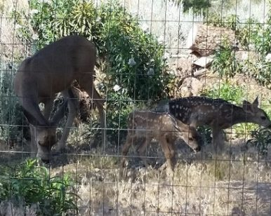 Mother Deer with Fawns