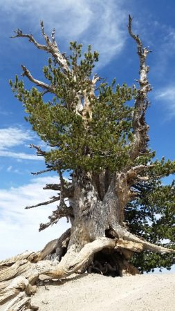 Wally Waldron Tree on Mt Baden Powell in the Angeles National Forest - Estimated age 1,500 years Photo by Brenda Avadian 2017